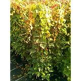SALVAJE Vino Parthenocissus tricuspidata veitchii 100cm alto en 3 Litros Maceta