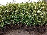 50 Buchen Pflanzen, Höhe: 70-80 cm, Heckenpflanzen, Fagus sylvatica, Buchenhecke