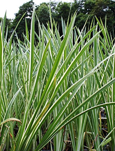 4er-Set im Gratis-Pflanzkorb - Acorus calamus 'Variegatus' - weiß-grün-gestreifter Kalmus - Wasserpflanzen Wolff