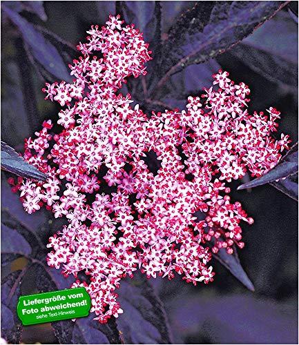 BALDUR-Garten Schwarzer Holunder \'Sambucus nigra\' winterhart, 1 Pflanze Holunderbeere Fliederbeere