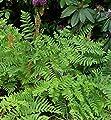 Königsfarn - Osmunda regalis von Baumschule auf Du und dein Garten