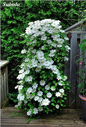 100 Pcs Clematis Graines de plantes Belle Paillage Graines de fleurs Bonsai ou un pot de fleurs vivaces pour jardin Mix Couleurs 14