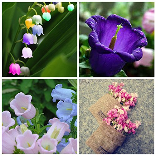 15pcs Colorful Graines Campanule Fleur Beautify Garden Windbell Graines d'orchidŽe