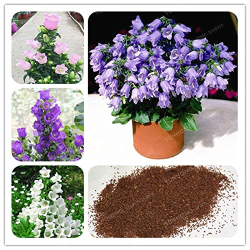 AGROBITS 100 PC-Blume Abutilon Pictum Bonsai Garden Bonsai Blumen Bonsai Easy Grow chinesische Bell-Blumen-Bonsai Campanula: MIX