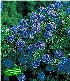 BALDUR-Garten Immergrüne Säckelblume Blauer Ceanothus 'Blue Mound', 1 Pflanze Kalifornischer Flieder winterhart