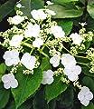 BALDUR-Garten Kletter-Hortensien 'Semiola®', Hydrangea petiolaris, 1 Pflanze von Baldur-Garten bei Du und dein Garten