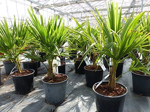 S Trachycarpus fortunei 60 - 90 cm, Hanfpalme, winterharte Palme bis -18°C