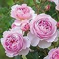 David Austin Rose The Ancient Mariner - Wurzelnackt Buschrose in A-Qualität von David Austin bei Du und dein Garten