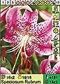 Lilium speciosum rubra - Wildlilie von Aquaritstik-Garten de - Du und dein Garten