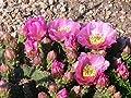 Kakteengarten 3 winterharte Pflanzen Opuntia fragilis lila Blüten / zerbrechlicher Feigenkaktus im 9cm Topf von Eigenproduktion - Du und dein Garten