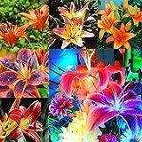 Portal Cool 12: 20Pcs HauptGardening Balkon Bonsai Mix Farben-Lilien-Blumen-Samen C1My
