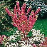 Qulista Samenhaus - Duftend Rarität Seidelbast Duftstrauch Rosa reichblühend, Blumensamen winterhart mehrjährig für Garten/Balkon/Terrasse