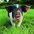 Schweine Karte - This Little Piggy - geflecktes Glücksschwein von Otter House Square Card - Du und dein Garten