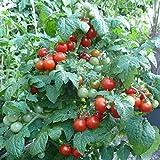 10 Samen Zimmertomate – ganzjährig Tomaten ernten, Massenertrag auf der Fensterbank