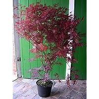 Roter Fächer-Ahorn, Höhe: 130-140 cm, rote Blätter, Acer palmatum Atropurpureum + Dünger