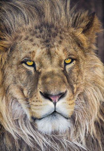Fototapete National Geographic LION 127x184 afrikanischer Löwe, König der Tiere. -