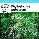 SAFLAX - Geschenk Set - Gräser-Bambus-Moso Riesenbambus - 20 Samen - Phyllostachys pubescens