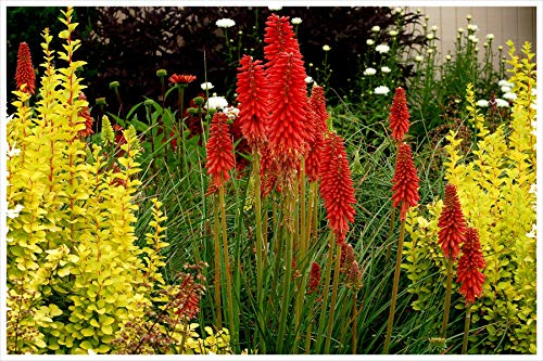1 x Kniphofia \'Redhot Popsicle\' / Fackellilie Tritome