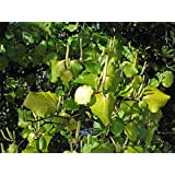 Asklepios-seeds® - Macropiper excelsum, 100 frische Samen Maori-Kava Kava, Tahiti Pfeffer, Kawa/Kawa