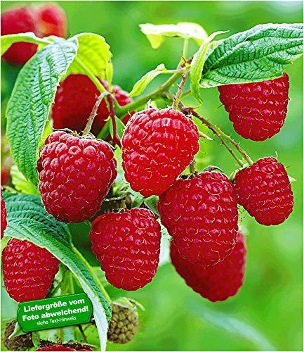 BALDUR-Garten Rote Himbeeren TwoTimer® Sugana®, 3 Himbeerpflanzen, Rubus idaeus