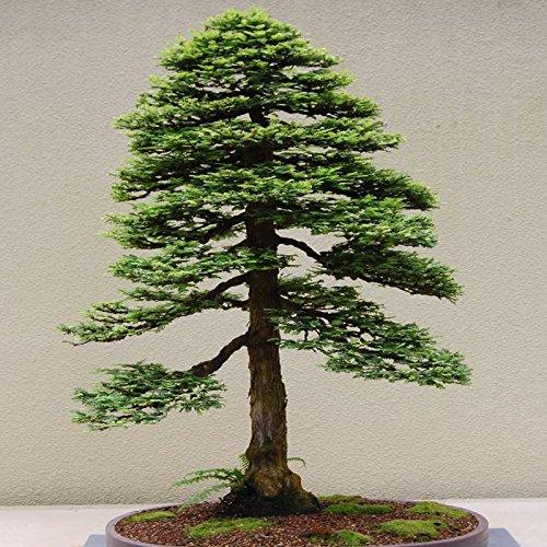 Grow Your Own Californian Redwood Bonsai Tree Kit Indoor Windowsill Gardening Growyourownplants