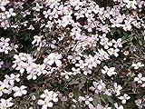 Kletterpflanze Clematis Waldrebe  Rubens 60-100cm im 2L Topf gewachsen