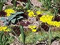"""Kakteengarten winterharte Mittagsblume/Delosperma congestum """"Golden Nugget"""" im 9cm Topf von Eigenprodution - Du und dein Garten"""