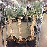 Yucca Rostrata 170 cm +/- (105 cm Stamm) Winterhart Pflanze im Topf bis -20°C