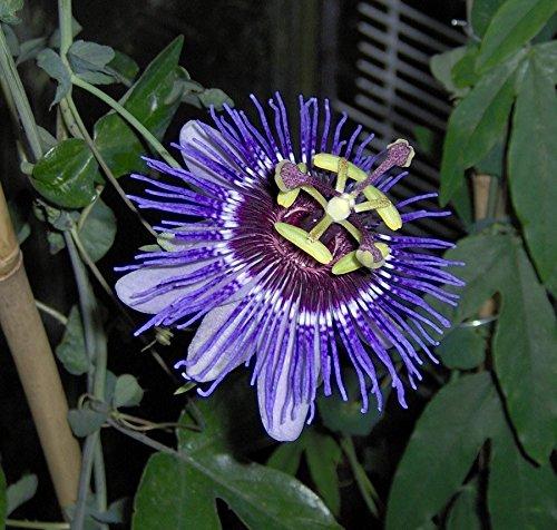 1-pianta-passiflora-purple-haze-vaso-12cm-sempreverdi-e-rampicanti