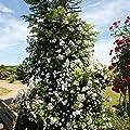 TOM-GARTEN Ramblerrose 'Paul´s Himalayan Musk' ® von TOM-GARTEN bei Du und dein Garten