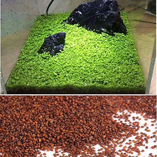 Kicode Planta de semillas acuáticas Hierba de agua Musgo Paisaje Decoración de estanque Pecera Hierba de agua Musgo Paisaje Decoración de estanque Pecera