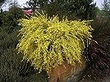 Portal Cool 1 Ginestra Pianta - Cytisus X praecox 'All Gold' impianto Nella 9cm Pot, fiori gialli