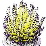 FOReverweihuajz 100 Stk seltene neue bunte Aloe Vera Samen saftige Kräuter Bonsai/Balkon/Garden Pflanzen Dekor-Sky Blue/organge/Purple/Rose Red/yelllow