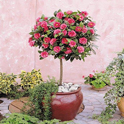 Standard Camellia Tree   1 Tree