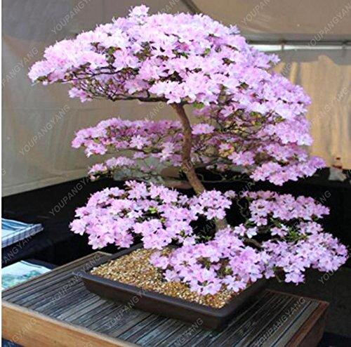 10PCS rares fleurs de bonsaïs graines de fleurs de cerisier sakura arbre graines de fleurs de cerisier bonsaïs maison & jardin Noir