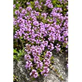 Creeping Thyme, Breckland Thyme seeds - Thymus serpyllum