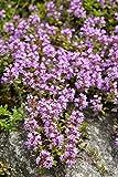 schleichenden Thymian, breckland Thymian Samen - Thymus serpyllum