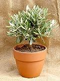 Prächtiger Olivenbaum Olea europaea Frosthart bis -10 Grad Gesamthöhe ca.20 cm. Frisch aus der Baumschule