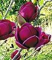 """BALDUR-Garten Magnolie """"Genie®"""";1 Pflanze von Baldur-Garten bei Du und dein Garten"""