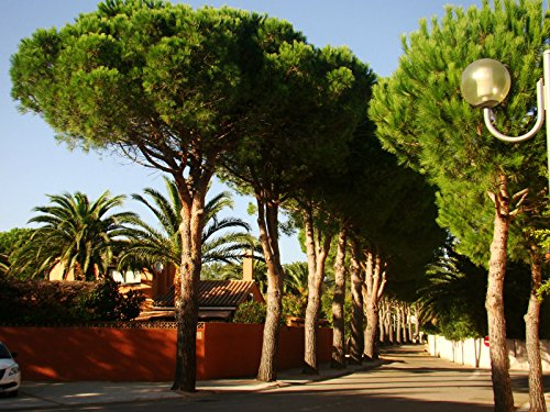 1x-conifer-tree-mediterranean-umbrella-pine-pinus-pinea-plant-edible-seeds