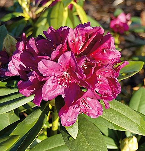 Großblumige Rhododendron Polarnacht 30-40cm - Alpenrose