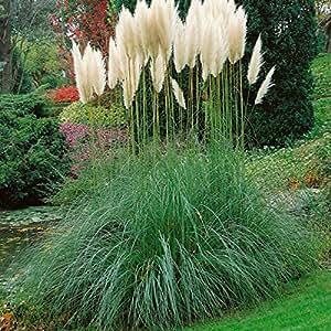 staude pampasgras set bestehend aus je 4 pflanzen rosa und 4 pflanzen wei bl hend. Black Bedroom Furniture Sets. Home Design Ideas