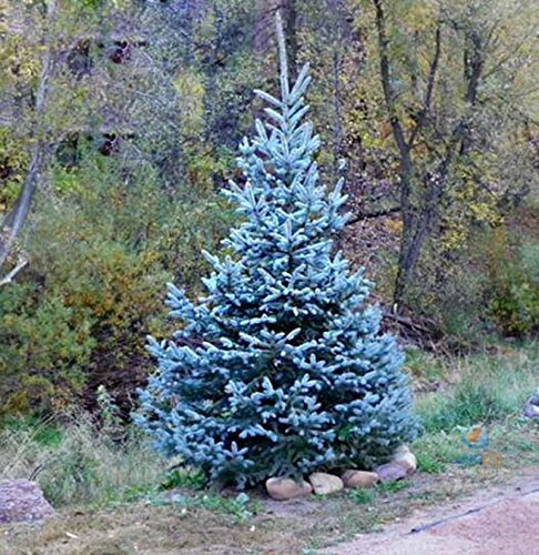 SwansGreen 50seeds/bag True Colorado Blue Spruce Tree Seeds-Picea pungens -Bonsai potted plants blue tree seeds ornamental christmas tree (Blue Spruce Tree Colorado)