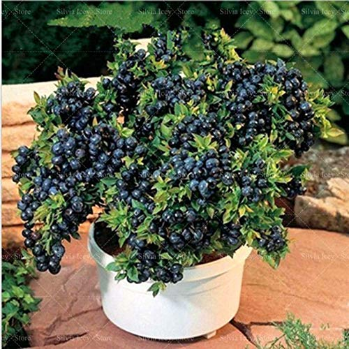 soniry 200 pc mirtilli black berry bonsai rare perenne nano fruit tree planting bonsai in vaso per la casa giardino dolci e succose: nero