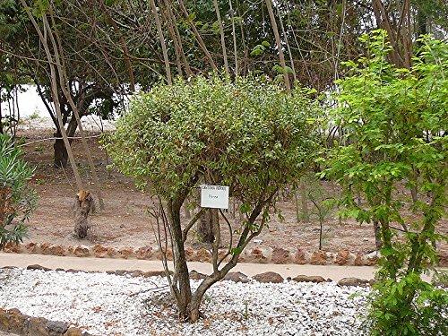Hennastrauch -Lawsonia inermis- 20 Samen
