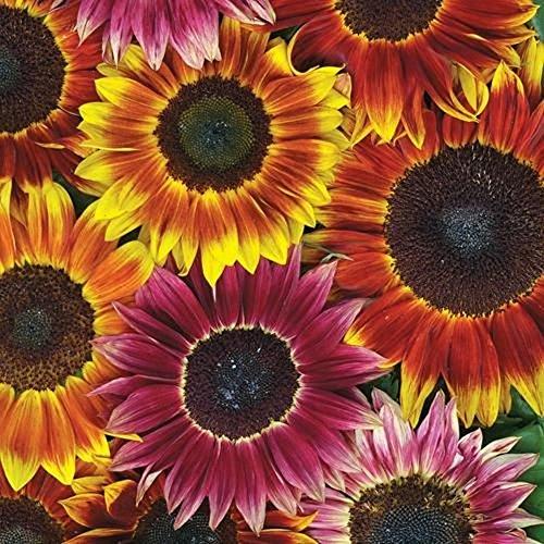 Lot de 20 Graines Soleil à fleurs simples Evening Sun Mix fleur annuelle hauteur 180 cm 1m80 coloris jaune rouge orange