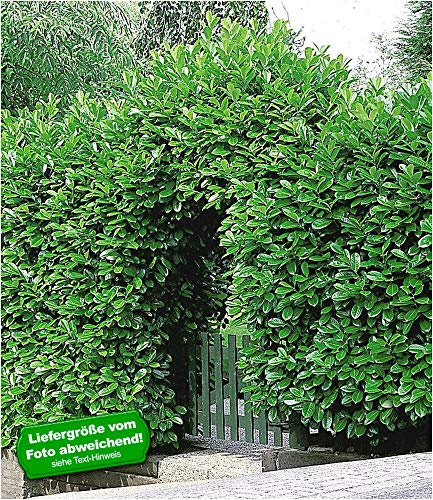 BALDUR-Garten Immergrün Kirschlorbeer-Hecke 5 Pflanzen Prunus laurocerasus Rotundifolia winterhart -