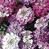 SeeKay - Iberis umbellata Dwarf Fairy mix - Candytuft - Approx 750 seeds
