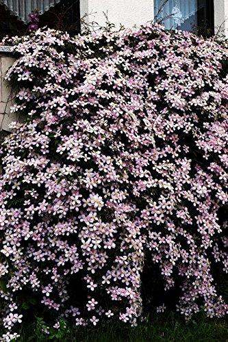 OBI Reichblühende Kletterpflanze