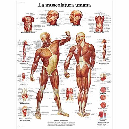 3B Scientific vr4118l die Muskulatur, 1
